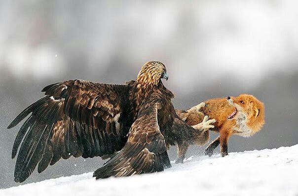 Una pelea de un águila y un zorro