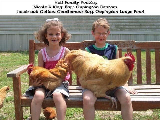 Buff Orpington Bantam and   Large Fowl Buff Orpington