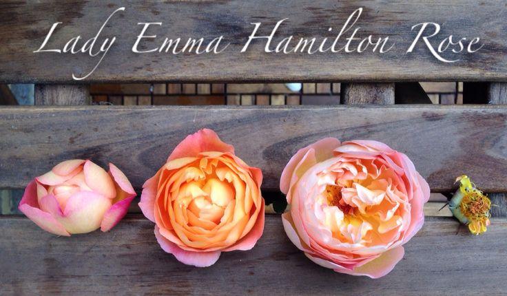 lady emma hamilton rose life cycle