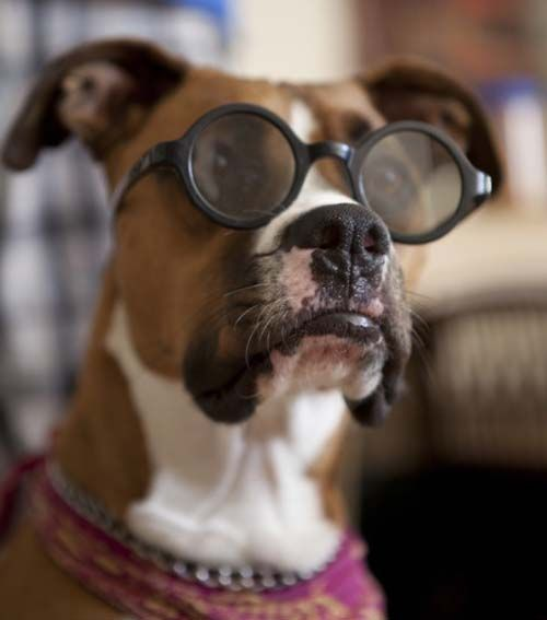 Boxer Dog with glasses.lol