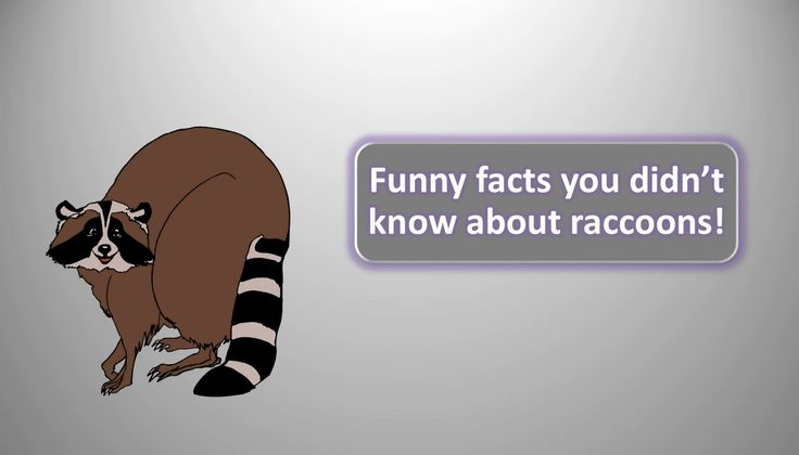 Funny facts you didnt know about raccoons!