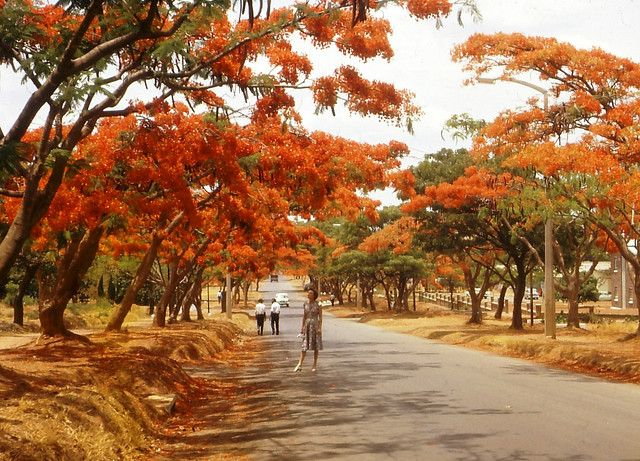 Flamboyant trees, Lusaka, Zambia  Flamboyant trees line a street in Lusaka, Zambia, 1965