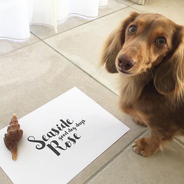 Seaside Rose the doggie product brand our humom made.  来て欲しい時に来てくれてきちんと目線までくれる協力的なピノっち . はいはーい発表しまーすSeaside Roseというブランドを立ち上げますピノっちが宣伝してくれてるのがそのロゴです(_) ステキなの作って頂きましたーワンちゃんの幸せと飼い主さんの幸せを願うブランドだからGood dog daysスタイリッシュでオトナなブランドを目指してますベタですがおばばが大好きな海辺に愛娘ローズの名前を入れました悲しいから考えたくないけどおばばよりも先に犬生を終えるであろうローズはこれでずっとこの世界にいることができるなぁとそんな母の思いも込めて孫たちはと思ってしまいますよね大丈夫心配ご無用おばばはきちんと考えてますよ(#.#) またそれはタイミングが来たらお知らせします…
