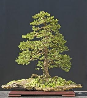 Best Bonsai Images On Pinterest Bonsai Trees Plants And Flowers - Black hills spruce bonsai trees