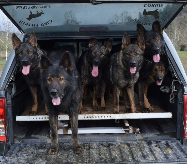 Car full of GSDs! I'll just take the dogs thank you!
