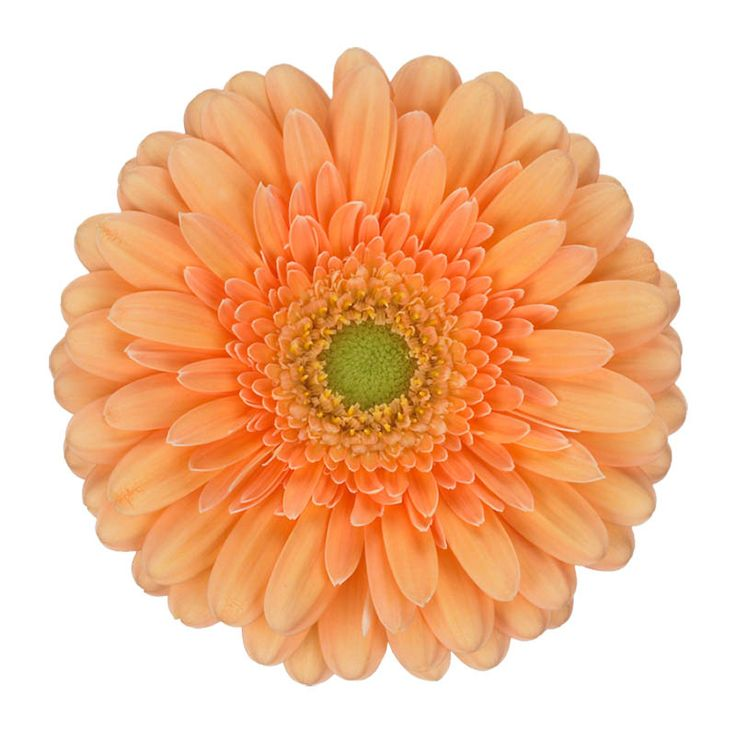 Some of the biggest buzz this year has certainly been over the addition of our new peach Mini Gerbera 'Larissa' to our Pitt Meadows greenhouse! It took no time at all before people were asking for it by name! She is a very popular girl!  #hollandiagreenhouses #gerbera #gerberas #gerberadaisies #weddingflowers #peachisthenewblack