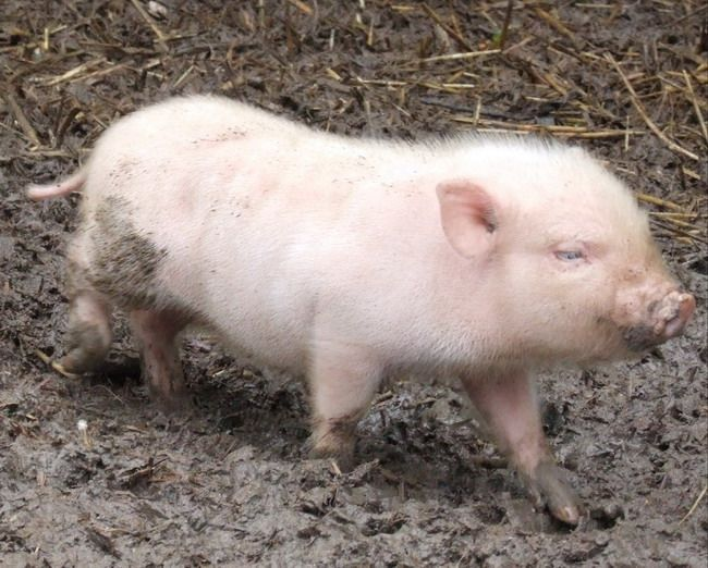 ber ideen zu minischwein auf pinterest minischweine schweine und ferkel. Black Bedroom Furniture Sets. Home Design Ideas