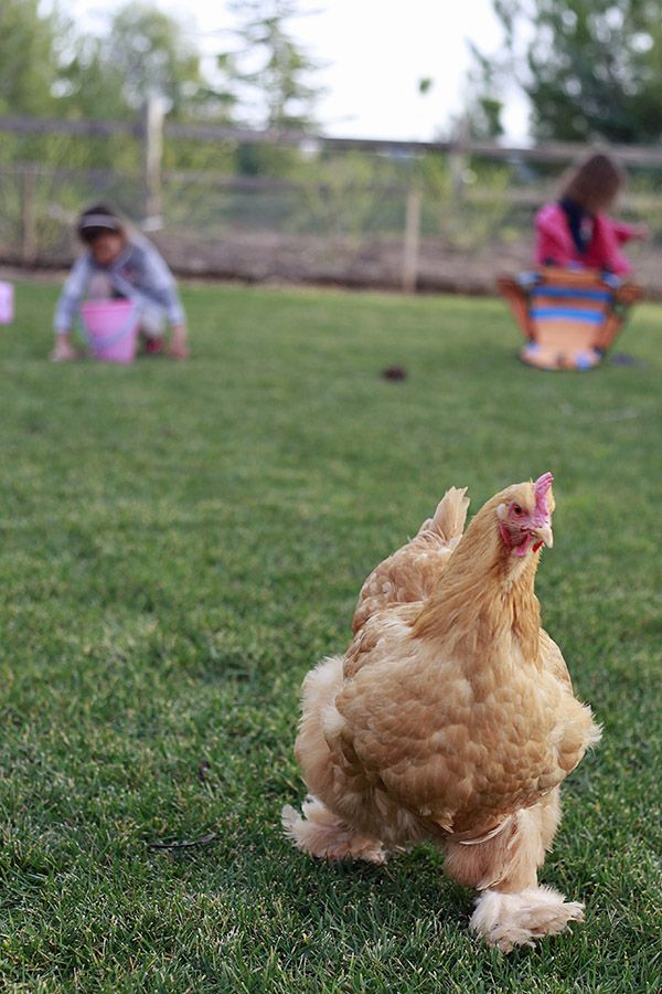 17 best images about chickens coop and chickens on