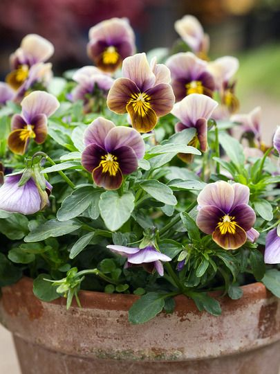 Best Chocolate Scented Flowers: 142 Best The Chocolate Scented Garden Images On Pinterest