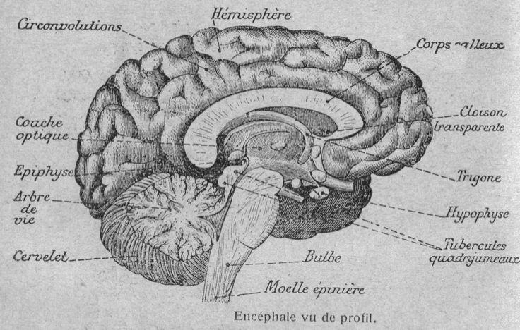 Structure de l'encéphale humain (profil)