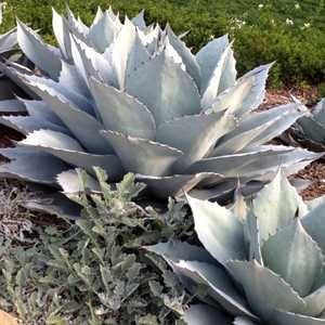 Agave ovatifolia 'Frosty Blue' at San Marcos Growers