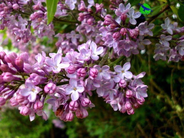La Gelee De Lilas Une Douceur Subtile Avec Images Plantes