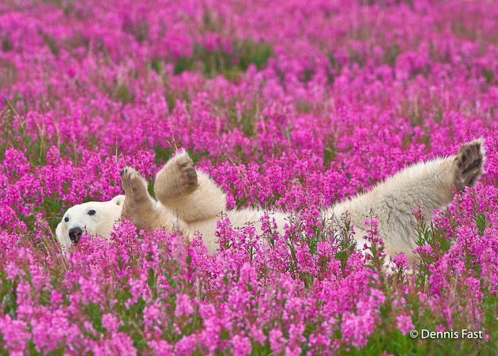 How cute! Playful photos of polar bears frolicking in flower fields during summer by  photographer Dennis Fast. #photography