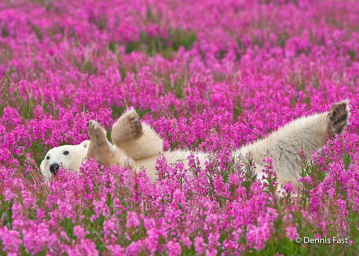 野生の心はどこいった!(笑) お花畑で超絶リラックスするシロクマが撮影される