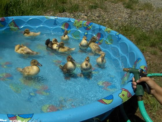 Duck pond ideas duck pool ideas pinterest duck pond for Keep ducks out of swimming pool