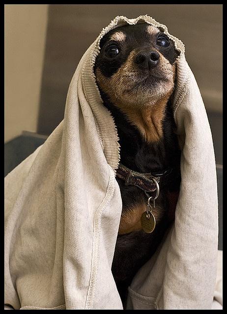 Dane at the vet Min Pin Miniature pinscher dog, Min pin
