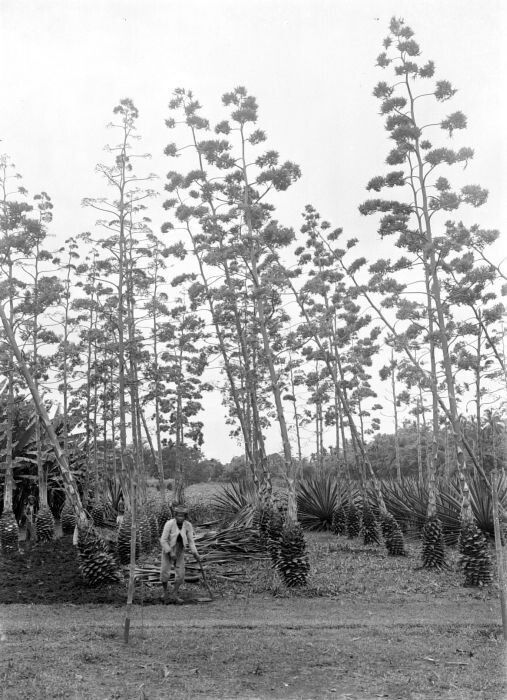 Agave Sisalana plantation in Central Java, Indonesia (1910) courtesy of Tropenmuseum NL
