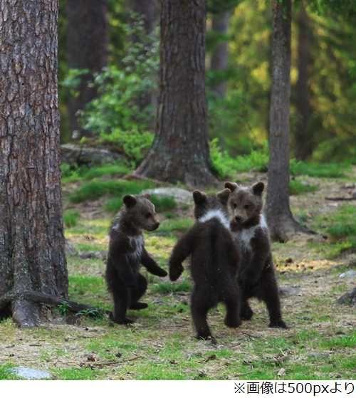 ツイナビ【話題】森で輪になって踊る子グマ3匹、童話のような写真が撮影され話題に。