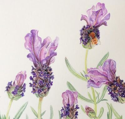 Watercolour painting of Spanish lavender and a Tawny mining Bee on Botanical Ultra Smooth paper by Shevaun Doherty