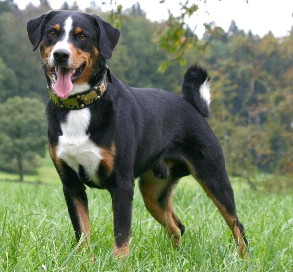 Right breed for you? Appenzeller Sennenhunde information including personality, history, grooming, pictures, videos, how to find a Appenzeller Sennenhunde and AKC standard.