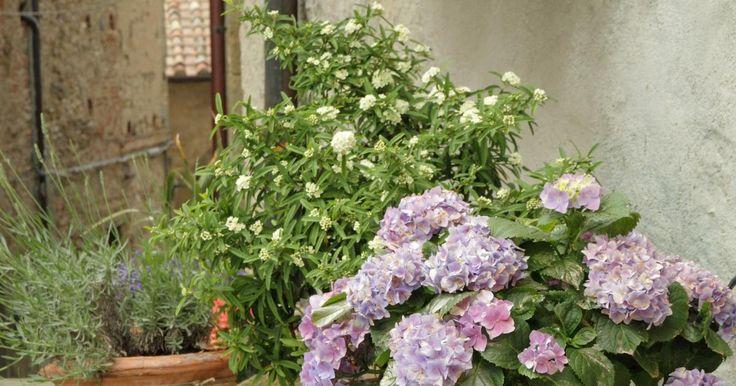 Hortensien wirken gediegen und herrlich altmodisch. Nicht umsonst sind sie die typischen Bauerngartenpflanzen. Von Zeit zu Zeit feiern sie ein fulminantes Comeback: Mit dem Boom des ländlichen Gartens haben die Prachtblüher die Herzen wieder einmal im Sturm erobert.