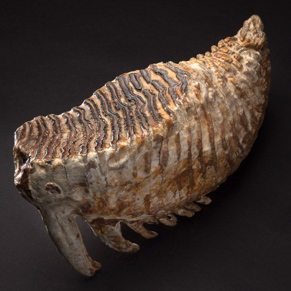 Exceptionnal Fossilized Molar from a Mammoth. This and more rare fossils for sale on CuratorsEye.com