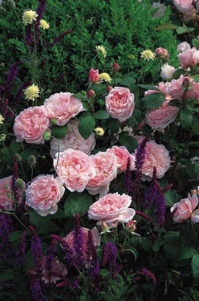 zon 4,engelska rosor,austinrosor,trädgård,ljusrosa
