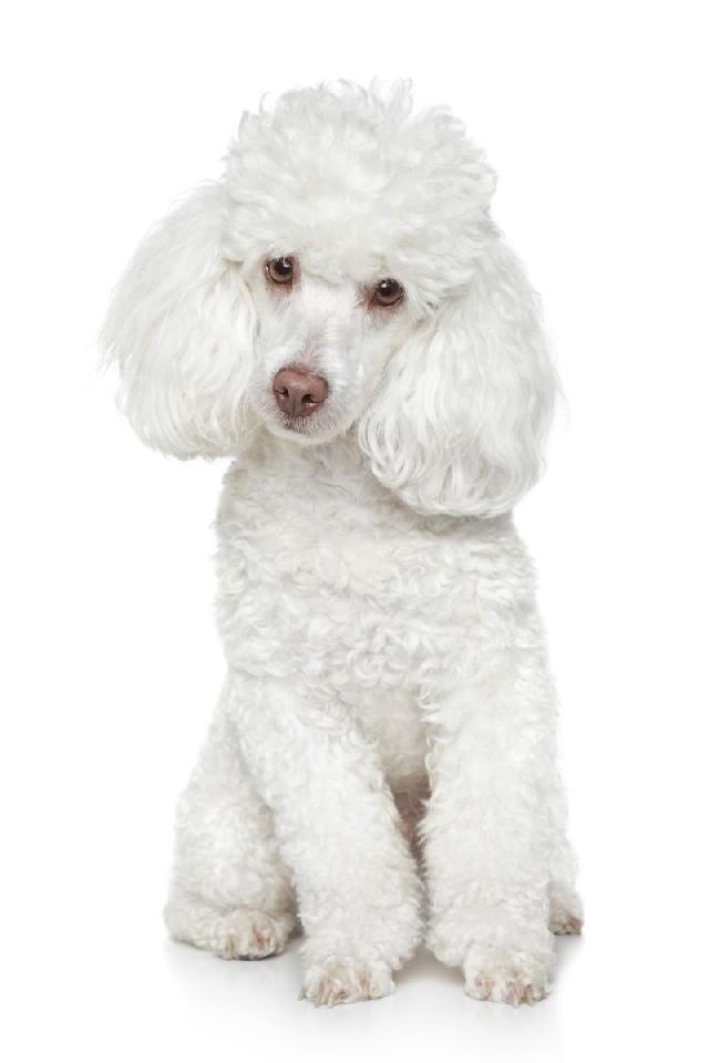 Cachorros de pequeno porte cabem em todos os espaços. Conheça os 10 cachorros de pequeno porte mais queridos no Brasil.