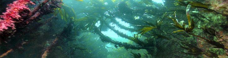 Paysage sous marin de la mer d'Iroise ou sont récoltées les algues pour les cosmétiques Paris Exclusive  #cosmétiquebio #merd'Iroise #alguesbrunes #alguesfraîches  #beautémarine #biomarin #ecocert #cosmebio #ParisExclusiveCosmetics