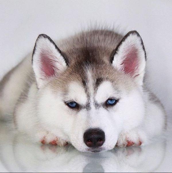 Husky Siberianhusky Husky Puppy Siberian Husky Husky Dogs