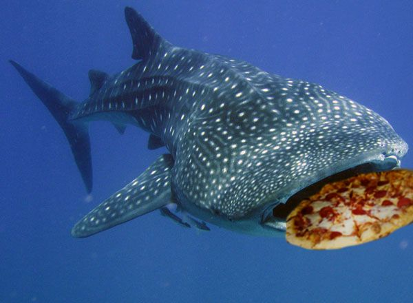 Whale sharks eat pizza shark pizza sharkweek we all for The fish that ate the whale