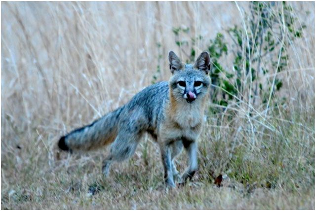 Blue Animals In The Wild White Fox With Blue Eyes Pet