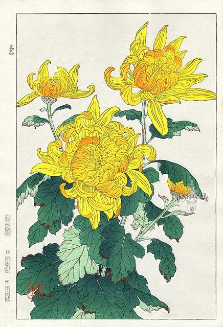 Chrysanthemums by ondiraiduveau on Flickr.