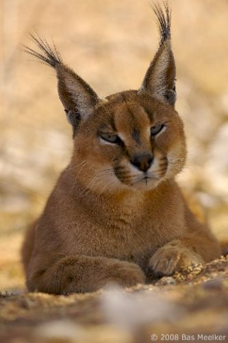 beautiful Caracal.......