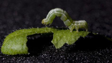 Rimedi naturali contro i bruchi delle piante: Prendiamo circa 10 grani di pepe nero, li pestiamo grossolanamente (evitando di ridurli in polvere) e li mettiamo in un flacone con 500 ml di acqua a temperatura ambiente. Lasciamo macerare per due ore. E' necessario far trascorrere questo tempo affinché l'acqua si aromatizzi con il pepe. Trascorso il tempo previsto, agitiamo il composto e vaporizziamo sulle foglie infestate.