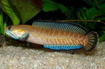 11 best Snakehead images on Pinterest | Fish aquariums ...
