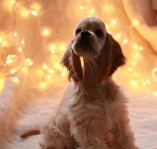 Продам щенка Американский кокер спаниель - Латвия, Рига