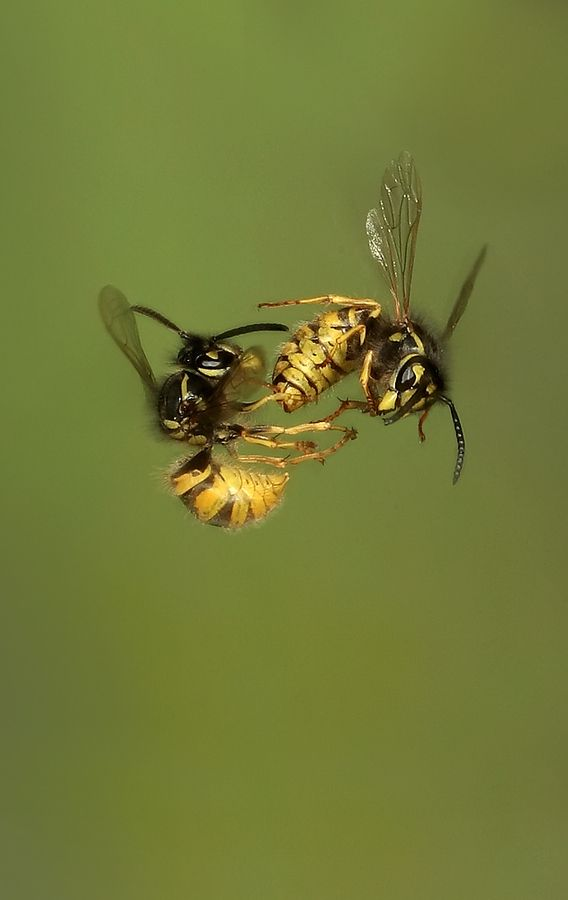 Wasps Fighting!  Call A1 Bee Specialists in Bloomfield Hills, MI today at (248) 467-4849 to schedule an appointment if you've got a stinging insect problem around your house or place of business!  Visit www.a1beespecialists.com for more information!