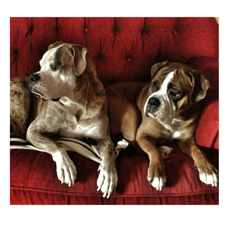 From Katarina in West Chester. These are her dogs Meatball and Kilo. Meatball (the big guy) is an American bulldog and Kilo (little guy) is an Olde English bulldog!
