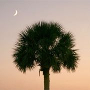 Palmetto Moon Sabal Palmetto (Cabbage Palmetto) - the flexibility of its trunk, together with its strong root system, enable the palmetto to withstand the fierce winds that so often strike our coastline.