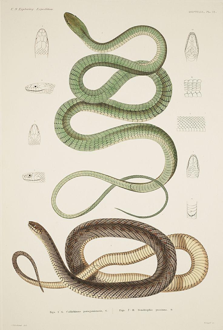 Reptilia, Plate 12