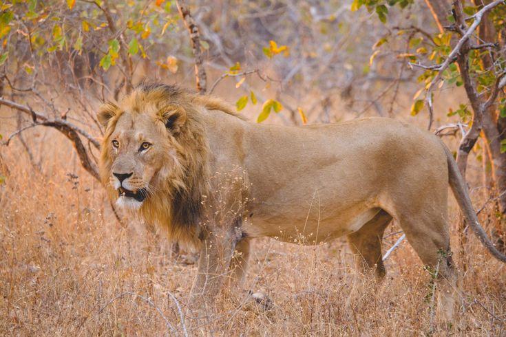 Safari en Afrique du Sud : ma rencontre avec le Roi de la Jungle #voyage #afriquedusud