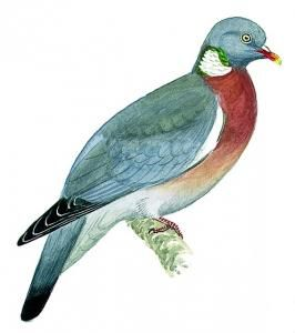 Picture of Pigeon ramier