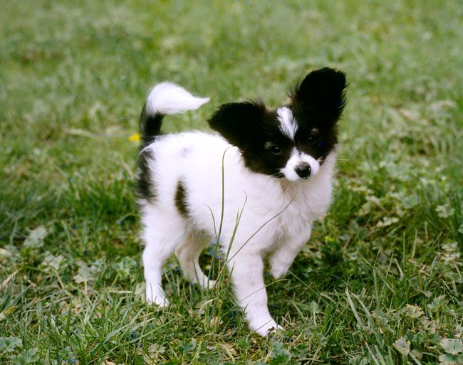 Everything you want to know about Papillon including grooming, training, health problems, history, adoption, finding good breeder and more.