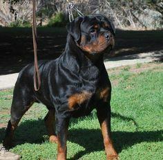 German Rottweiler Puppies For Sale - Von Ruelmann Rottwe ilers inc : Other