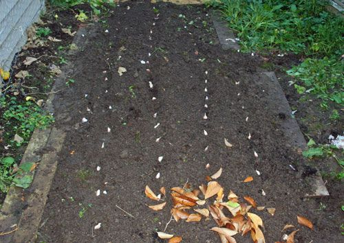 How to Plant Garlic in the FallGardens Ideas, Garlic Planted In Row, Vegetables Gardens, Garlic Plants In Row, Gardens Vegetables, Plants Garlic, Gardens Boards, Gardens Growing, Planting Garlic In The Fall