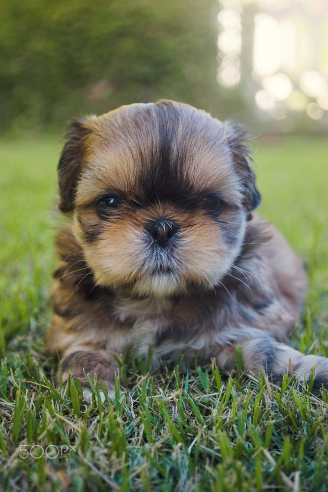 Pin By Southern Grace Shih Tzus On Awwww Dogs Shih Tzu Dogs