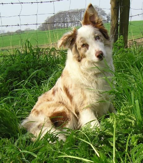 Brown Merle Border Collie - someday we will have a red Merle...
