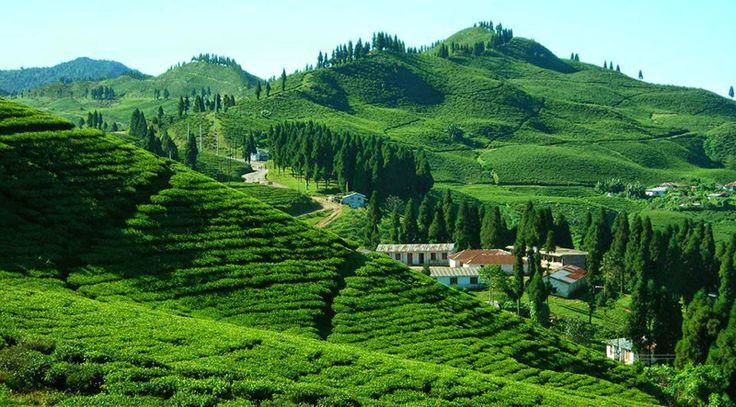 ilam tea plantation - nepal