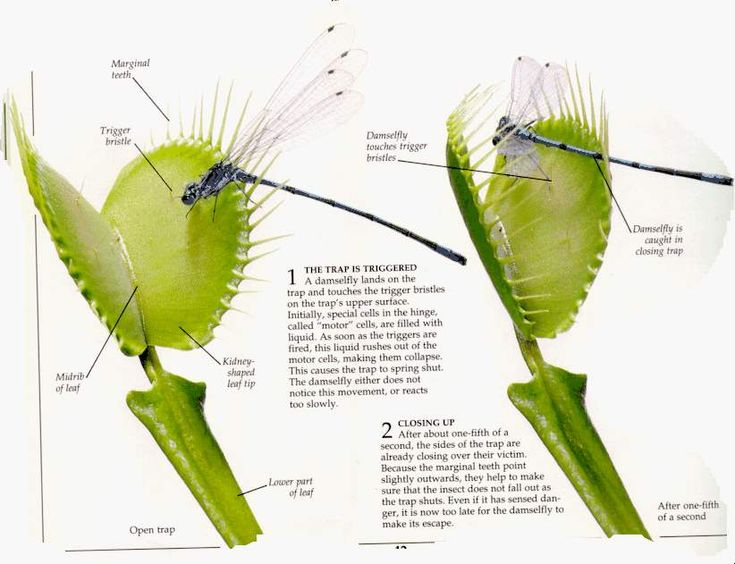 Hungry Venus – 10 Things On How to Care for a Venus Fly Trap